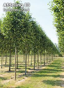 sorbus latifolia atro
